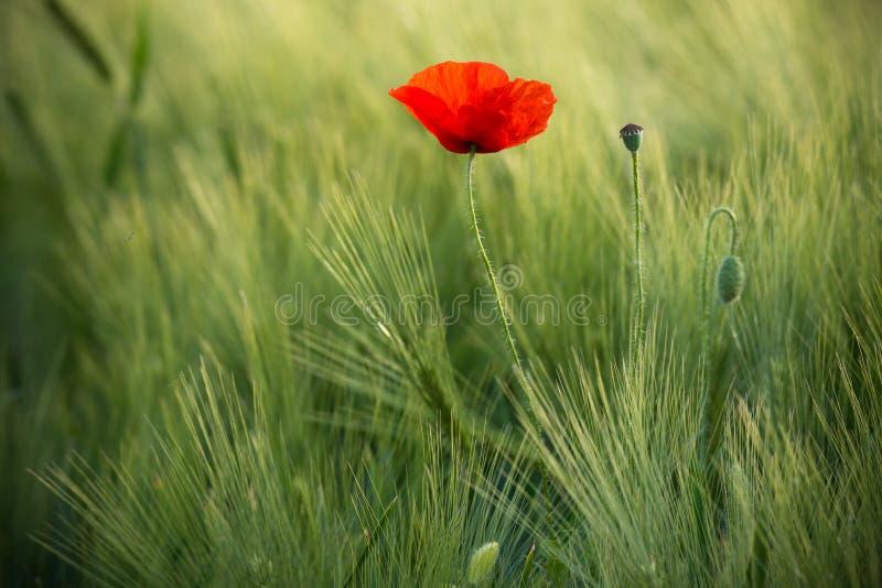 野生红色鸦片,与浅景深的射击,在一块绿色麦田在阳光下 在麦子中的偏僻的红色鸦片特写镜头 pict 免版税库存图片