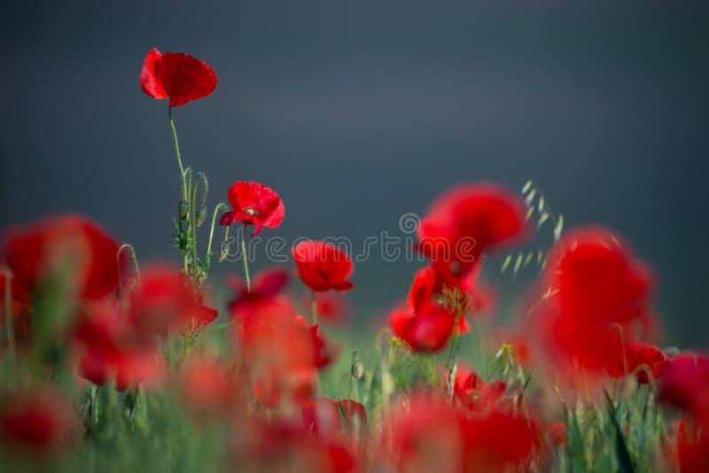 野生红色鸦片,与浅景深的射击,在麦子Fie 免版税库存图片