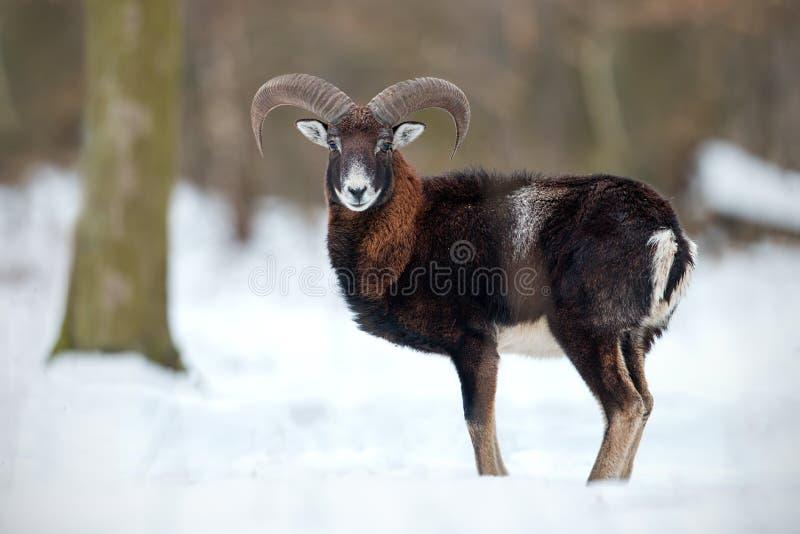 野生绵羊,mouflon,站立在深雪在冬天森林里 免版税库存照片