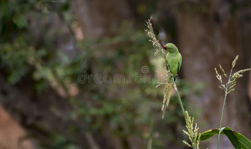 野生罗斯圈状的长尾小鹦鹉-饲料作物 图库摄影