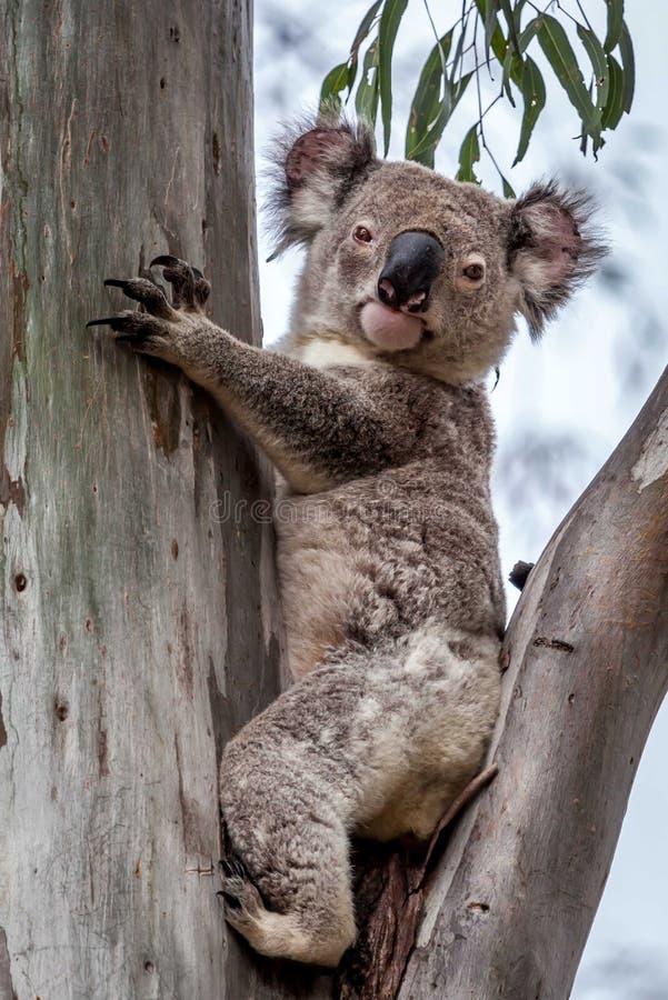 野生考拉, Esk,昆士兰,澳大利亚, 2016年11月 库存图片