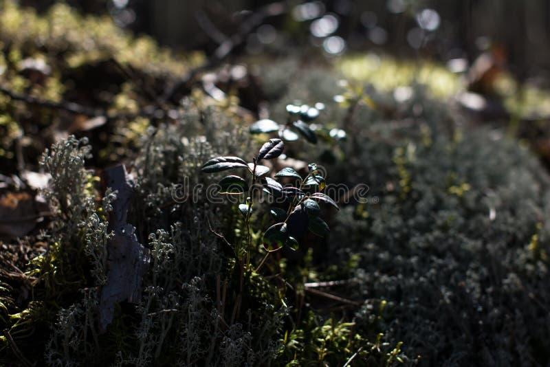 野生莓果叶子的等高图象  免版税图库摄影