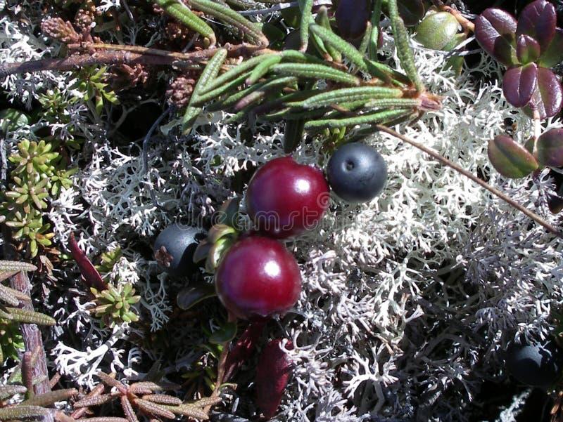 野生莓果 库存图片