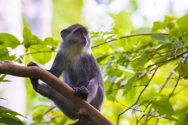 野生蓝色或diademed猴子长尾猴属mitis大主教在一个常青山竹密林栖所 免版税库存图片