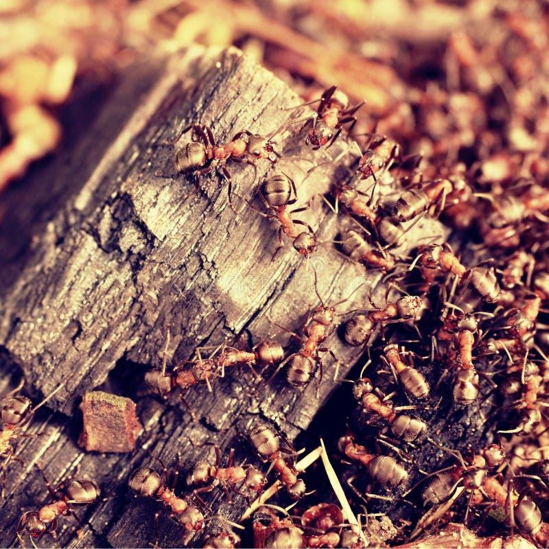 野生蚂蚁修造他们的蚁丘,被烧焦的木头大片断  库存图片