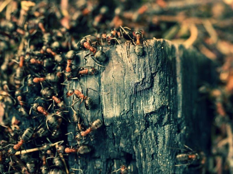 野生蚂蚁修造他们的蚁丘,被烧焦的木头大片断  免版税库存照片