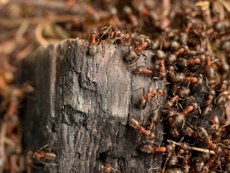 野生蚂蚁修造他们的蚁丘,被烧焦的木头大片断  图库摄影