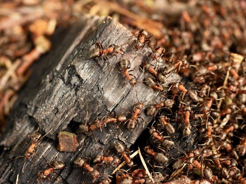 野生蚂蚁修造他们的蚁丘,被烧焦的木头大片断  库存照片