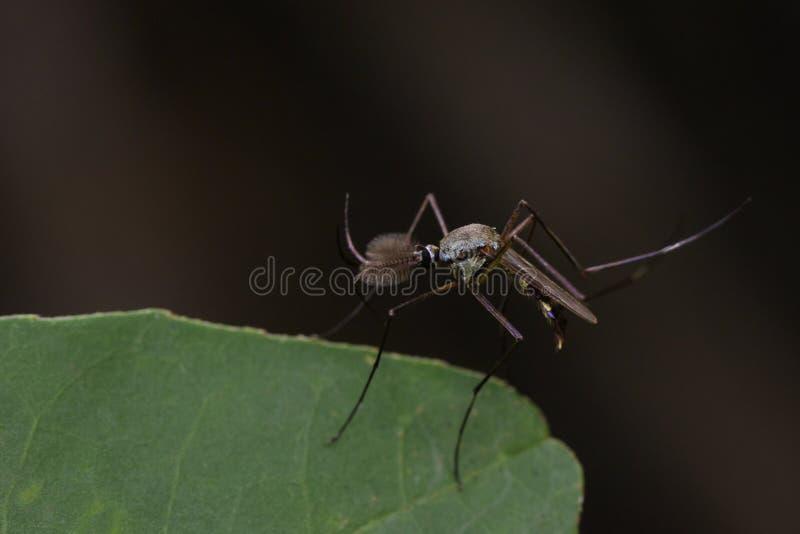 野生蚊子的图象在绿色叶子的 昆虫 敌意 免版税库存照片