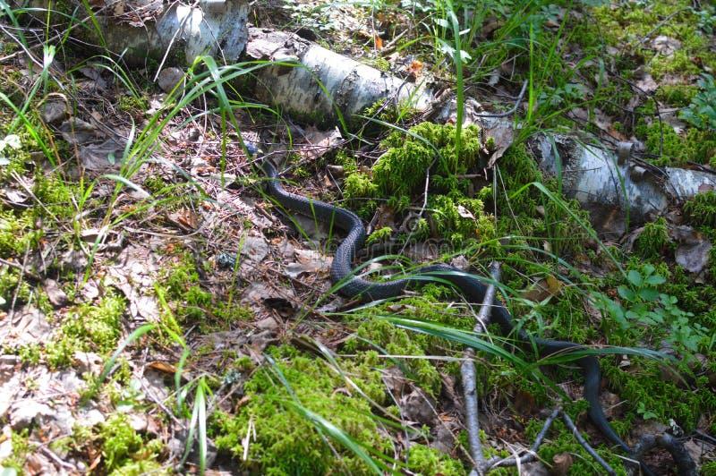 野生蛇在森林里 免版税库存图片