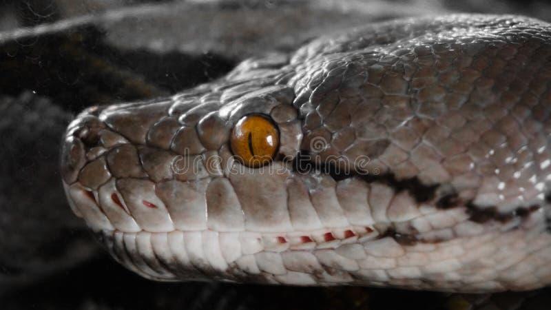 野生蛇,在自然的爬行动物 免版税图库摄影