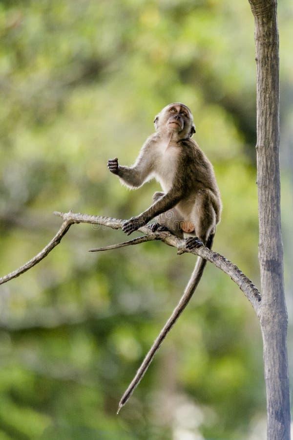 野生长尾的猴子 库存照片