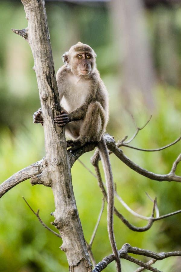 野生长尾的猴子 库存图片