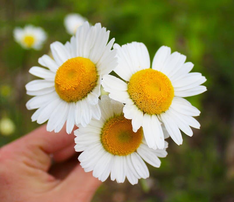 野生雏菊白花在一好日子,草甸花 库存图片