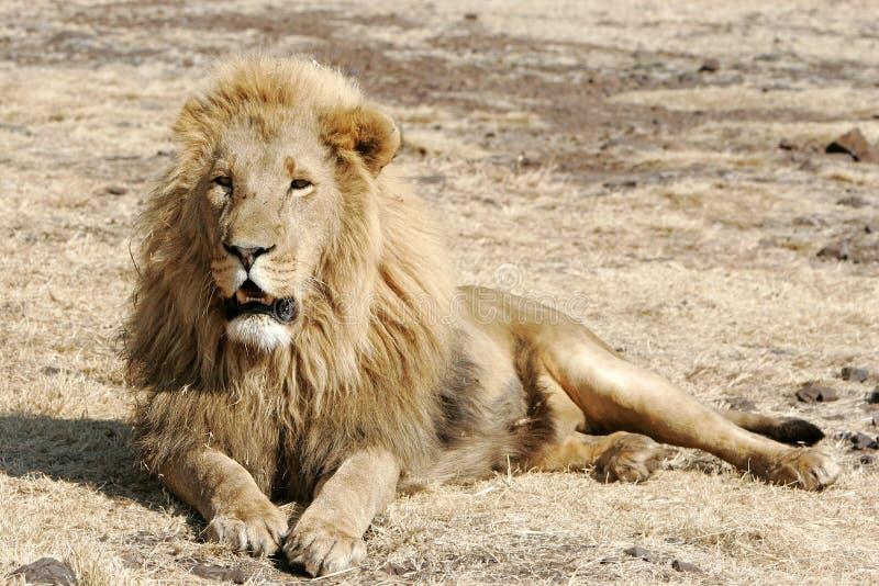 野生非洲狮子 免版税图库摄影