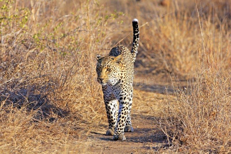 野生非洲豹子 图库摄影