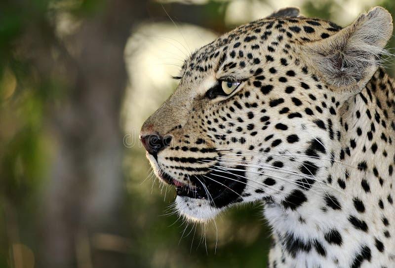 野生非洲豹子 免版税图库摄影