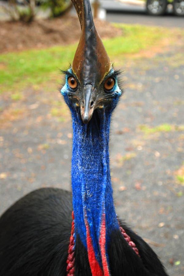 野生食火鸡,昆士兰,澳大利亚 库存图片