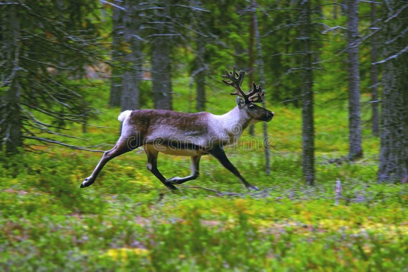 野生驯鹿在森林里。 免版税库存图片