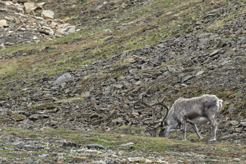 野生驯鹿在Spitzbergen 免版税库存照片