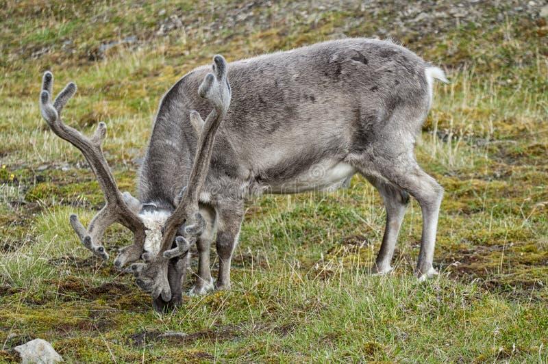 野生驯鹿在Spitzbergen 库存图片