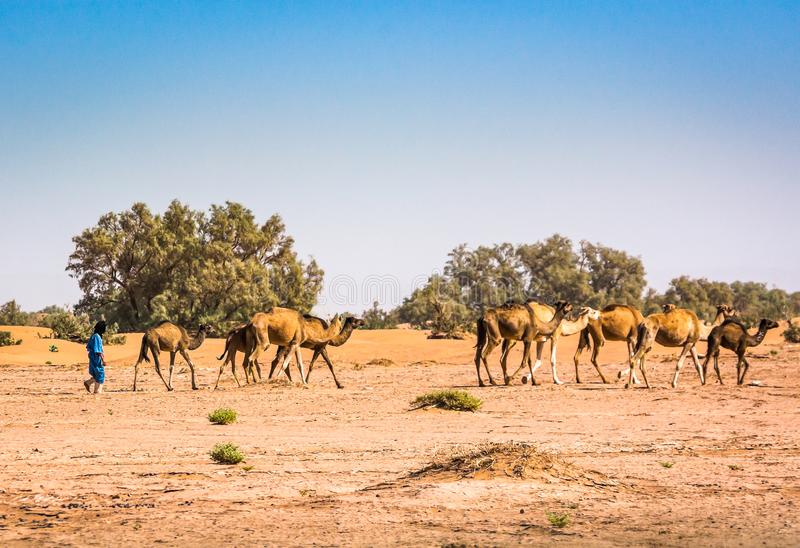 野生骆驼在沙漠撒哈拉在尔格Chigaga,摩洛哥 库存图片