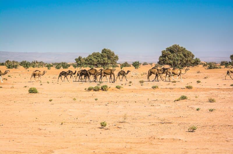 野生骆驼在沙漠撒哈拉在尔格Chigaga,摩洛哥 免版税库存图片