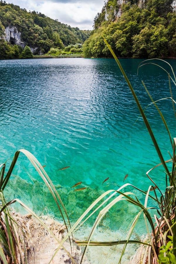 野生鱼在一个森林湖在透明的绿松石水中游泳 Plitvice,国立公园,克罗地亚 图库摄影
