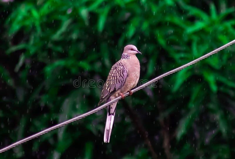 野生鸽子鸟在雨中导线季风印度 免版税图库摄影