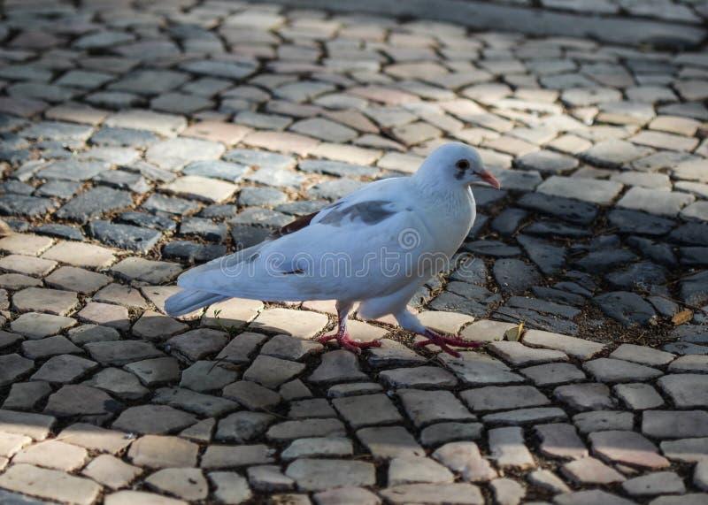 野生鸽子, Columba利维亚domestica,在城市 免版税库存图片