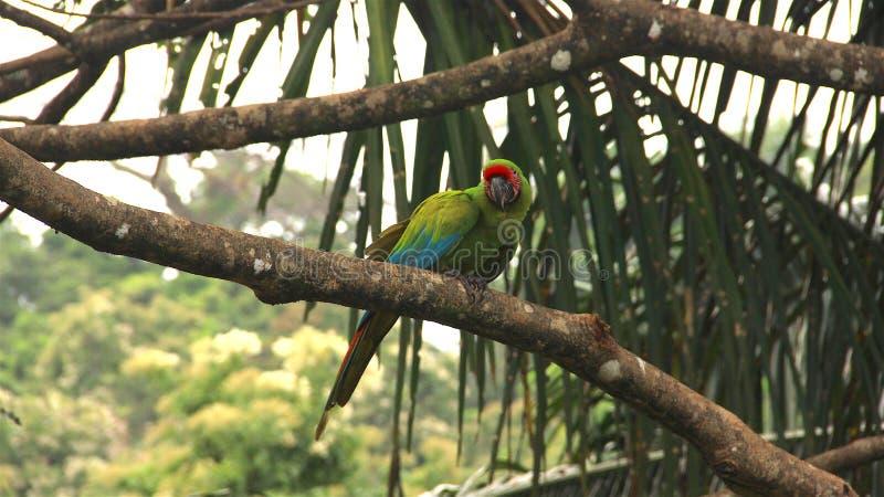 野生鹦鹉,哥斯达黎加 免版税库存照片