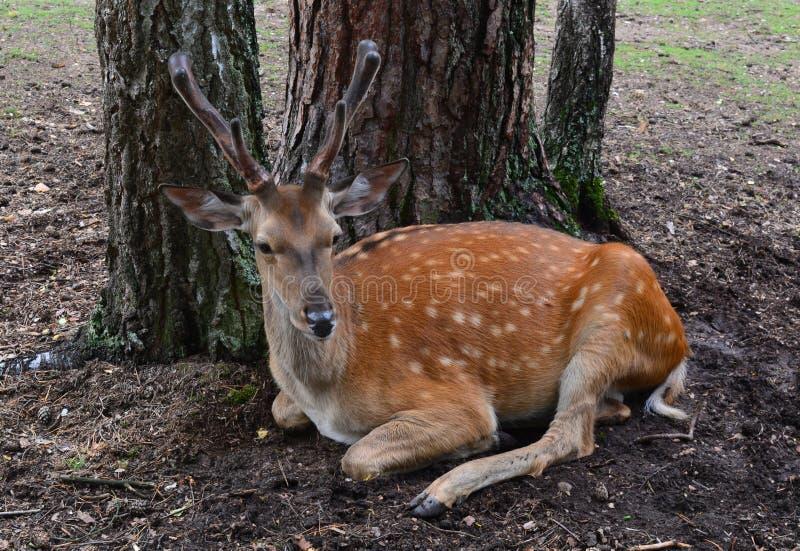 野生鹿在树下 免版税库存照片