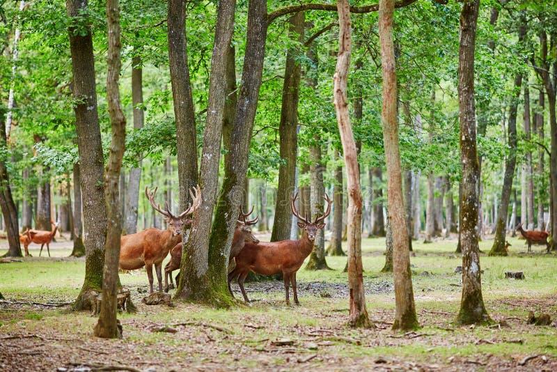 野生鹿在混杂的杉木和落叶林 库存图片