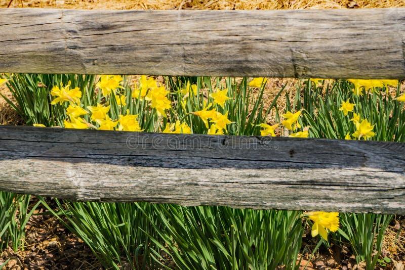 野生黄色黄水仙和篱芭 免版税图库摄影