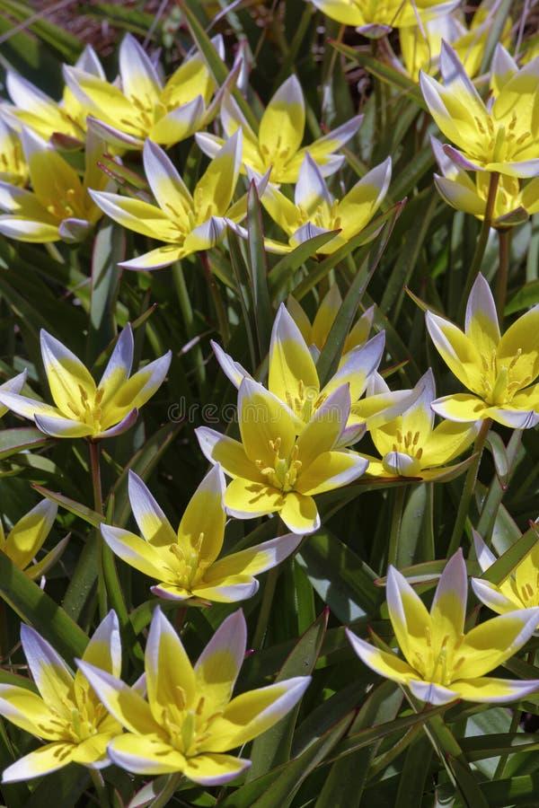 野生黄色郁金香的花在草的 免版税库存照片