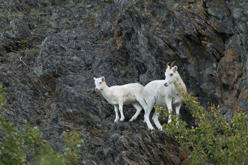 野绵羊母亲和婴孩山腰的 免版税库存照片
