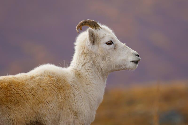 野绵羊画象在Denali NP,阿拉斯加,美国 免版税库存图片