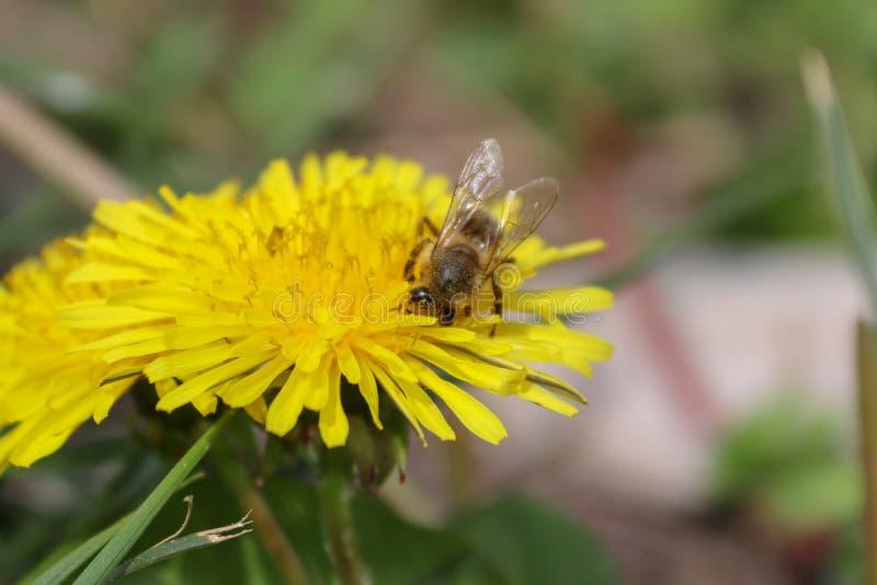 野花、黄色花、蒲公英和蜂 库存图片