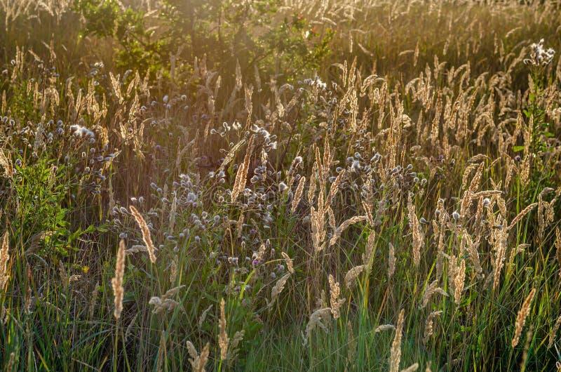 野花和狂放的草本淡黄色背景  r r 没有天空和天际 免版税库存图片