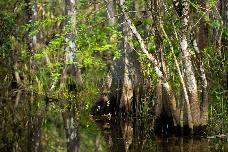 野花和赛普里斯树干在佛罗里达沼泽 图库摄影