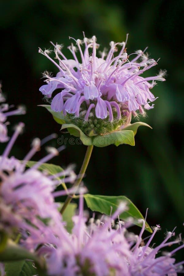 野花在密苏里 图库摄影