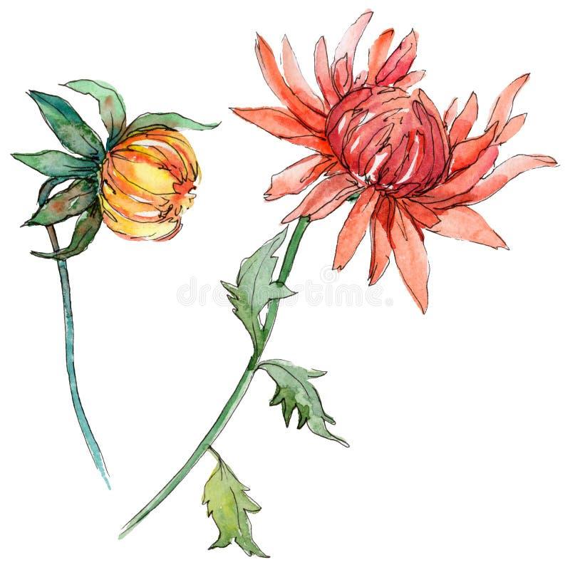 野花在水彩样式的chrysantemum花被隔绝的 皇族释放例证