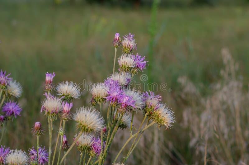 野花在落日的黄色光芒的琥珀蟒蛇moschata灌木  在观察水平的射击 E r 库存照片