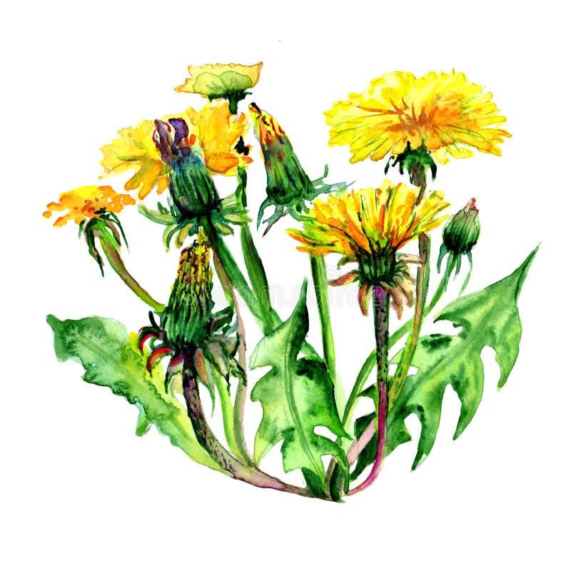 野花在水彩样式的蒲公英花被隔绝的 皇族释放例证