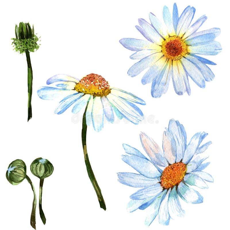 野花在水彩样式的雏菊花被隔绝的 库存例证