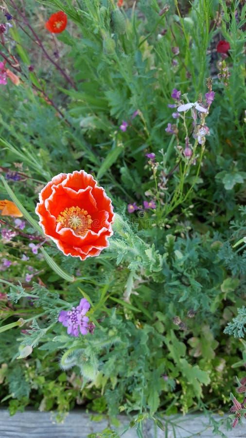野花庭院红色白色 免版税库存照片