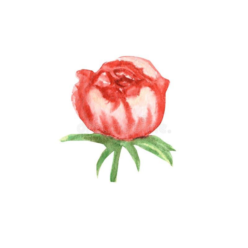 野花牡丹在水彩样式的桃红色花被隔绝的 背景、框架或者边界的水彩画野花 向量例证