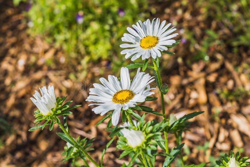 野花白色春黄菊花束在夏天庭院里 免版税库存图片