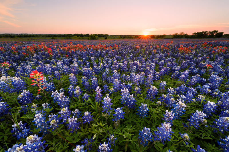 野花矢车菊在得克萨斯 免版税库存图片