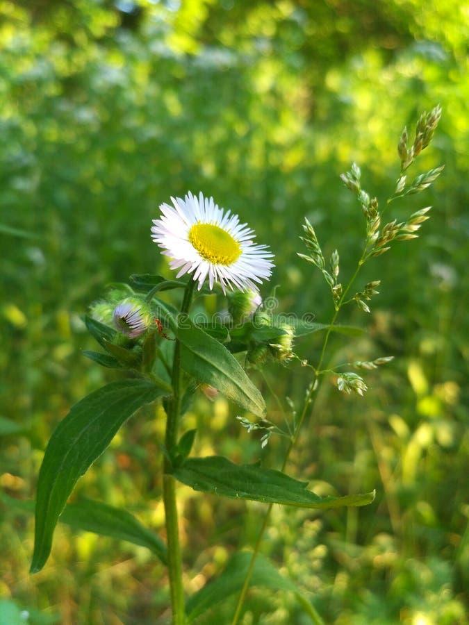 野花雏菊在领域增长 库存照片